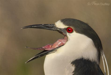 Black-crowned Night Heron Tongue « Feathered Photography